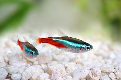 Live Tropical Fish for Sale - Neon Tetra - Paracheirodon innesi Bundles 1 - 50