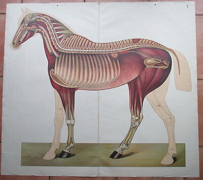 antique paper anatomical education plate of a horse