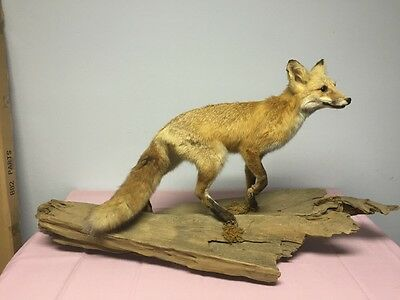 Taxidermied Red Fox Hunting Collector Man Cave Decor Mount on drift wood