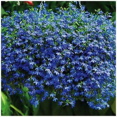 "Lobelia ""Blue Sapphire"" seeds. Real BLUE groundcover 