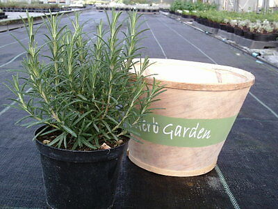 ROSEMARY OFFICINALIS - Large Herb Plant in a 14cm pot - Kitchen | Garden | Food