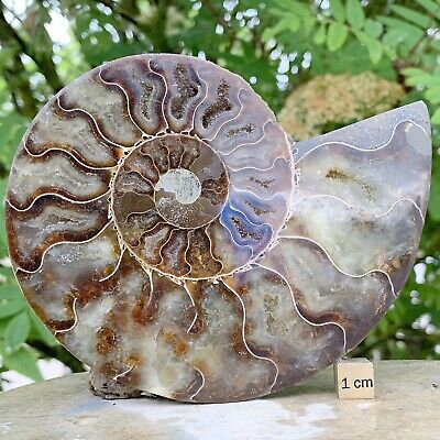 Giant Polished Ammonite Fossil from Madagascar - Cretaceous Period - FSE043