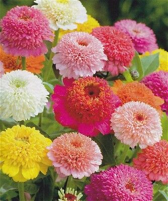 Zinnia Seeds - SCABOSIA MIX - Unique Heirloom - Variety of Colors - 25 Seeds