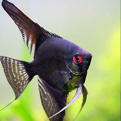 Live Tropical Aquarium Fish for Sale - Black Angelfish - Bundles 1 - 10