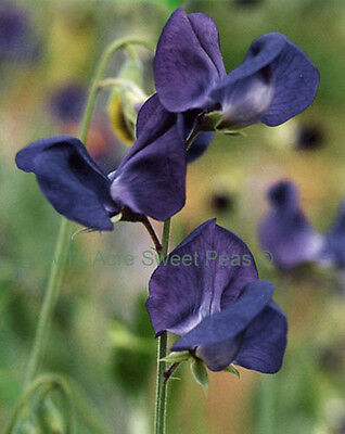 Sweet Pea Seeds - DRAMATIC NAVY BLUE - Deep Blue Color - Annual Vine - 10 Seeds