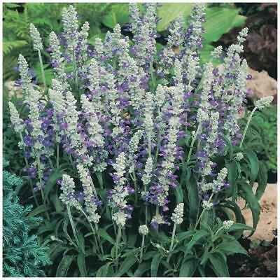 "Salvia Farinacea ""Strata"" seeds. Unique blue & white flowers 