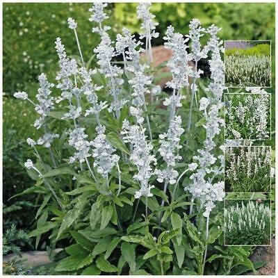 """Salvia """"Victoria White"""" seeds   Stunning flower displays   compact hardy plants."""