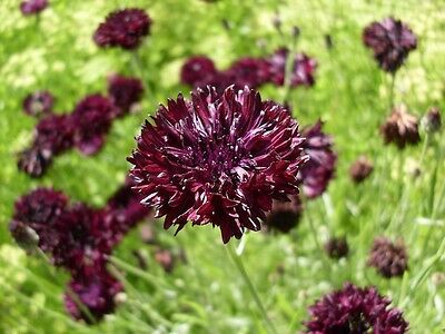 """Bachelor Button Seeds - BLACK BALL -  2"""" Double, Fringed Blooms - 25 Seeds"""