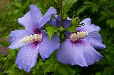 Rose of Sharon Seeds - BLUE BIRD - Hardy Perennial Flowering Shrub - 25+ Seeds
