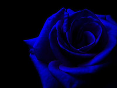 100 Semi Di Rosa Blu - Blue Rose, 100 High Quality Seeds
