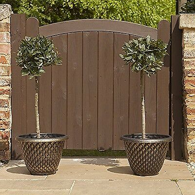 Standard Bay Trees 1M tall (Pair of 2)