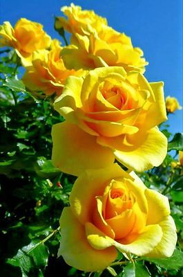 100 Semi Di Rosa Gialla - Yellow Rose, 100 High Quality Seeds