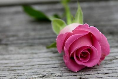 100 Semi Di Rosa Rosa - Pink Rose, 100 High Quality Seeds