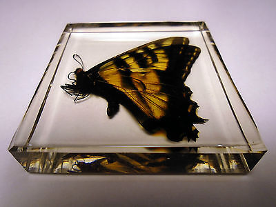 Real EASTERN TIGER SWALLOWTAIL butterfly taxidermy. Embedded in clear resin