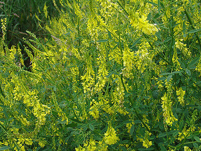 Yellow Blossom Sweet Clover Seeds - Cold Tolerant - 500+ Organic Seeds    =^..^=