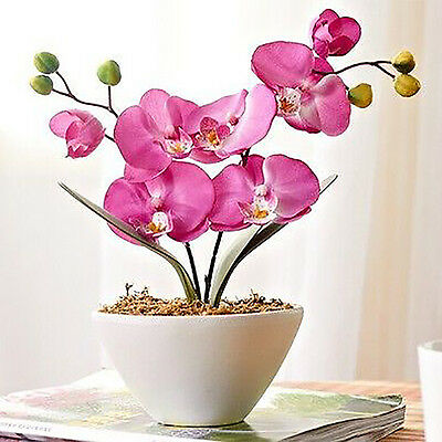 10pcs Mixed Color Phalaenopsis Flower Seeds Butterfly Orchid Bonsai Plant NEW