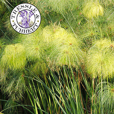 Rare Egyptian Paper Reed Cyperus papyrus Perennial Grass 10 seeds UK SELLER