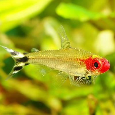 Live tropical aquarium fish for sale rummynose tetra for Fish for sale online
