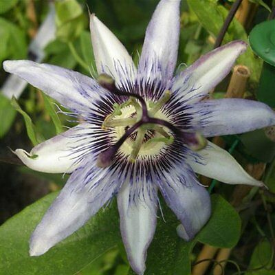 Passiflora Seeds - JUSTINE LYONS - Evergreen Climber - Exotic Blooms - 10 Seeds