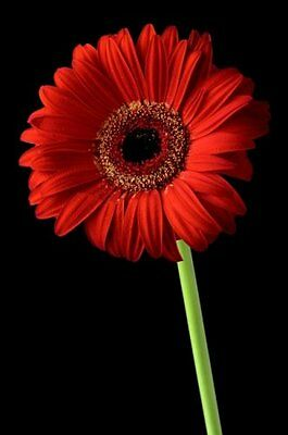 Gerbera Daisy Seeds - CALIFORNIA GIANT RED - Eye Catching Blooms - 50 Seeds