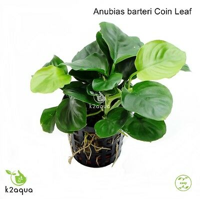 Anubias barteri Coin Leaf - Live Aquarium Plant EU Grown Shrimp Safe Nano Tank