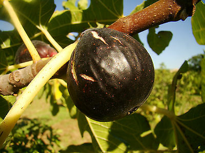 5 rare Fig fruit Tree FICUS CARICA, cold tolerant, self pollinating varieties