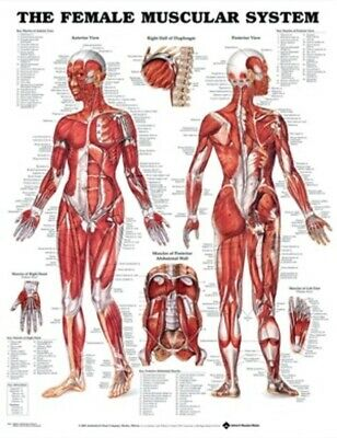 Anatomical Female Muscular System Chart