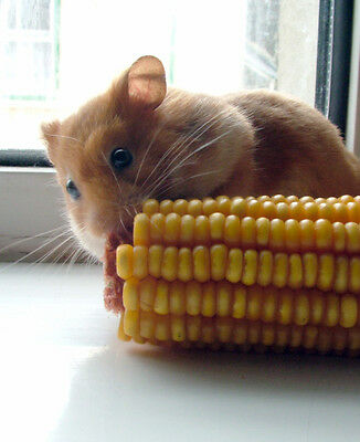 Grazing Corn Seeds - Livestock & -Small Pet Feed - theseedhouse - 200 Seeds