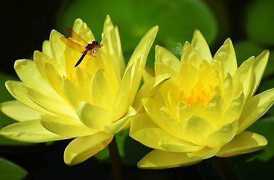 WATER LILY SEEDS * Yellow * POND PLANTS *