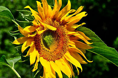 Sunflower Seeds - GIANT MAMMOTH - Largest of All Sunflowers - Bulk  - 500+ Seeds