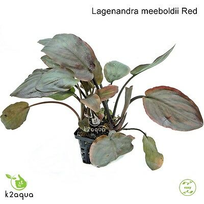 Lagenandra meeboldii Red - Live Aquarium Plant EU Shrimp Safe Co2 Scape Tank EU