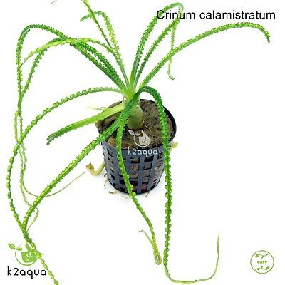 Crinum calamistratum - Live Aquarium Plant Shrimp Safe AquascapeTank Co2 Scape