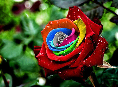 Rose Seeds - MYSTIC DREAM - Multicolor Roses - Winter Hardy Plant - 10 Seeds
