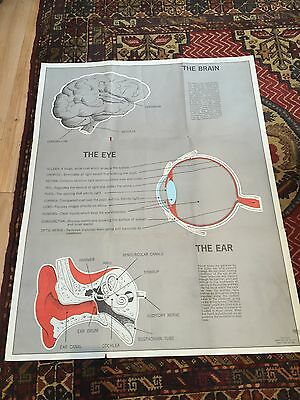 Vintage Medical/ Science Anatomical Poster- The Brain, The Eye, The Ear