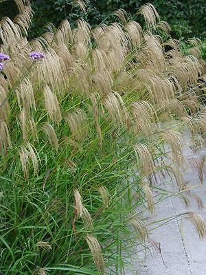 Miscanthus nepalensis - 3 x Ornamental Grass plants in 9cm pots