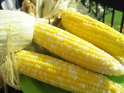 Sweet Corn Seeds - BUTTER & SUGAR - NON GMO Bi-Color Cobs - BULK - 1 lb. Seeds