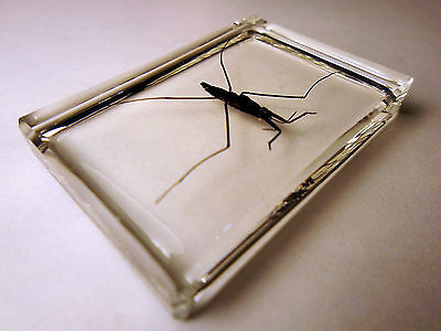 Water striders. Hemiptera. Water bug. Pond skater. Clear resin encapsulation