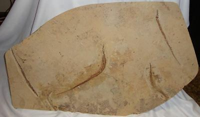 Fossil Pipefish (Syngnathus Acus) Mass Mortality Plate