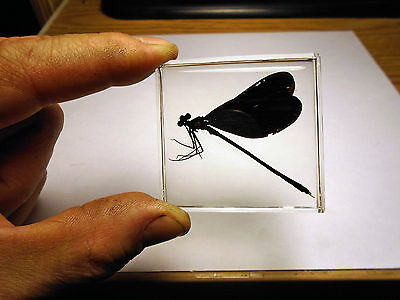 BLACK-WINGED DAMSELFLY. Real insect taxidermy embedded in indestructible resin