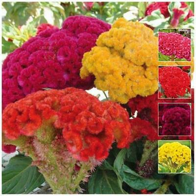 "Celosia ""Pacific Coral Mix™"" seeds 