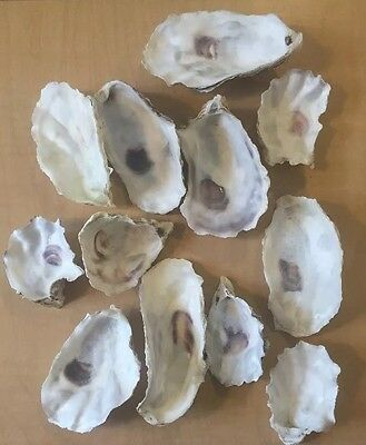 48 Medium Oyster Shells Cup Side 2.75- 4 Inch No Smell Art Craft