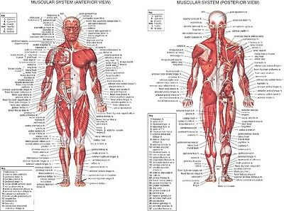 "The System Human Body Anatomy Muscular Huge Large 24""x32"" Wall Chart Poster"