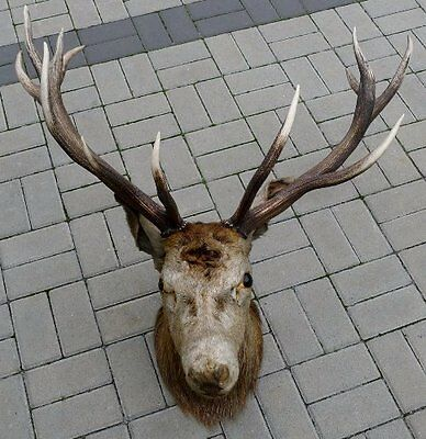 Fine German Taxidermy Of Red Deer Stag Head Antlers Hunting Collectible Decor