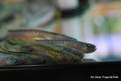 Prehistoric Dragon Goby, Gobioides broussonnetii (Violet Goby) - Oddball Fish