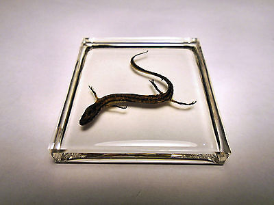 NORTHERN TWO-LINED SALAMANDER ( Eurycea bislineata ). Clear resin encapsulation