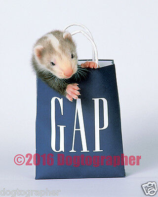 8x10 Ferret Photo - Baby ferret kit in a GAP gift bag - from Modern Ferret mag
