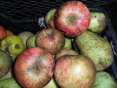 Rare » Our most liked Giant juicy Sweet Apple « 3 fresh cuttings