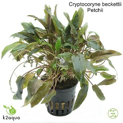 Cryptocoryne beckettii Petchii Live Aquarium Plants Tropical Aquascaping Tank EU
