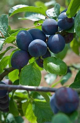 Czar Plum Tree - Dwarf Variety Great for Smaller Gardens Apx 5-6ft - 3yrs Old