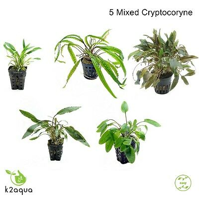 5 Mixed Cryptocoryne Species Live Aquarium Plants Fish Tank Shrimp Co2 Nano EU